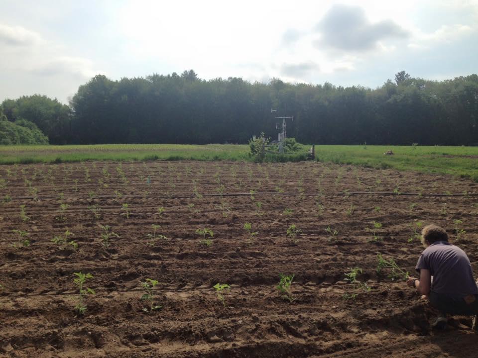Transplanting tomato starts into the ground
