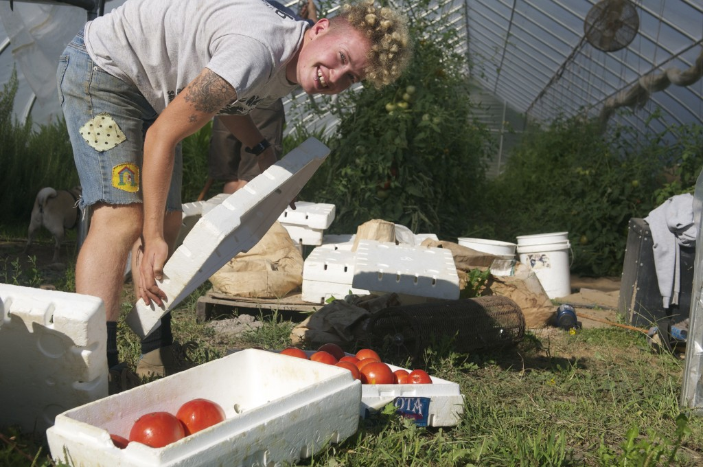 Harvesting tomatoes from the greenhouse.