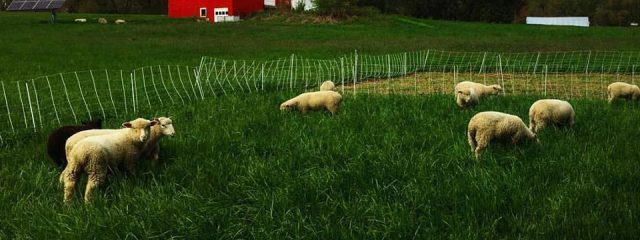 lambs in grass with CSA barn