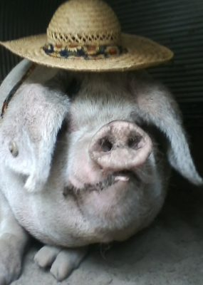 Sow in straw hat