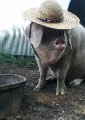 Sow in straw hat by waterer