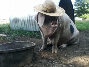 Sow in hat with water bin