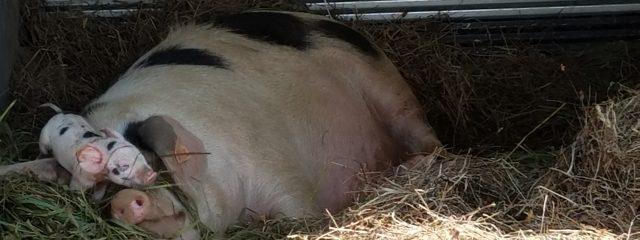 Piglet crawls across mother's face