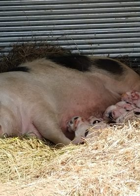 Nursing sow with 5 piglets