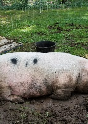 Boar sleeping in mud