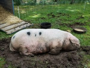 Boar sleeping in mud