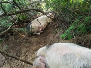 Two sows in brush