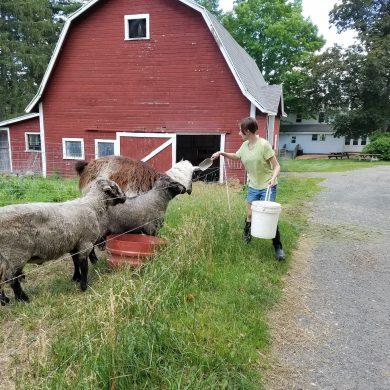 student feeding sheep and llama