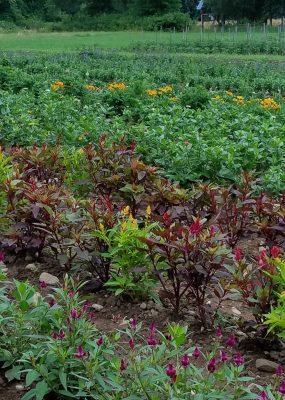 Students weeding fields