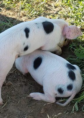 two piglets in field
