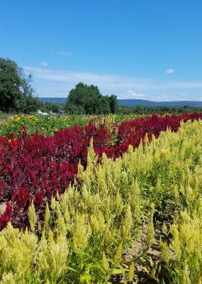 PYO flower field