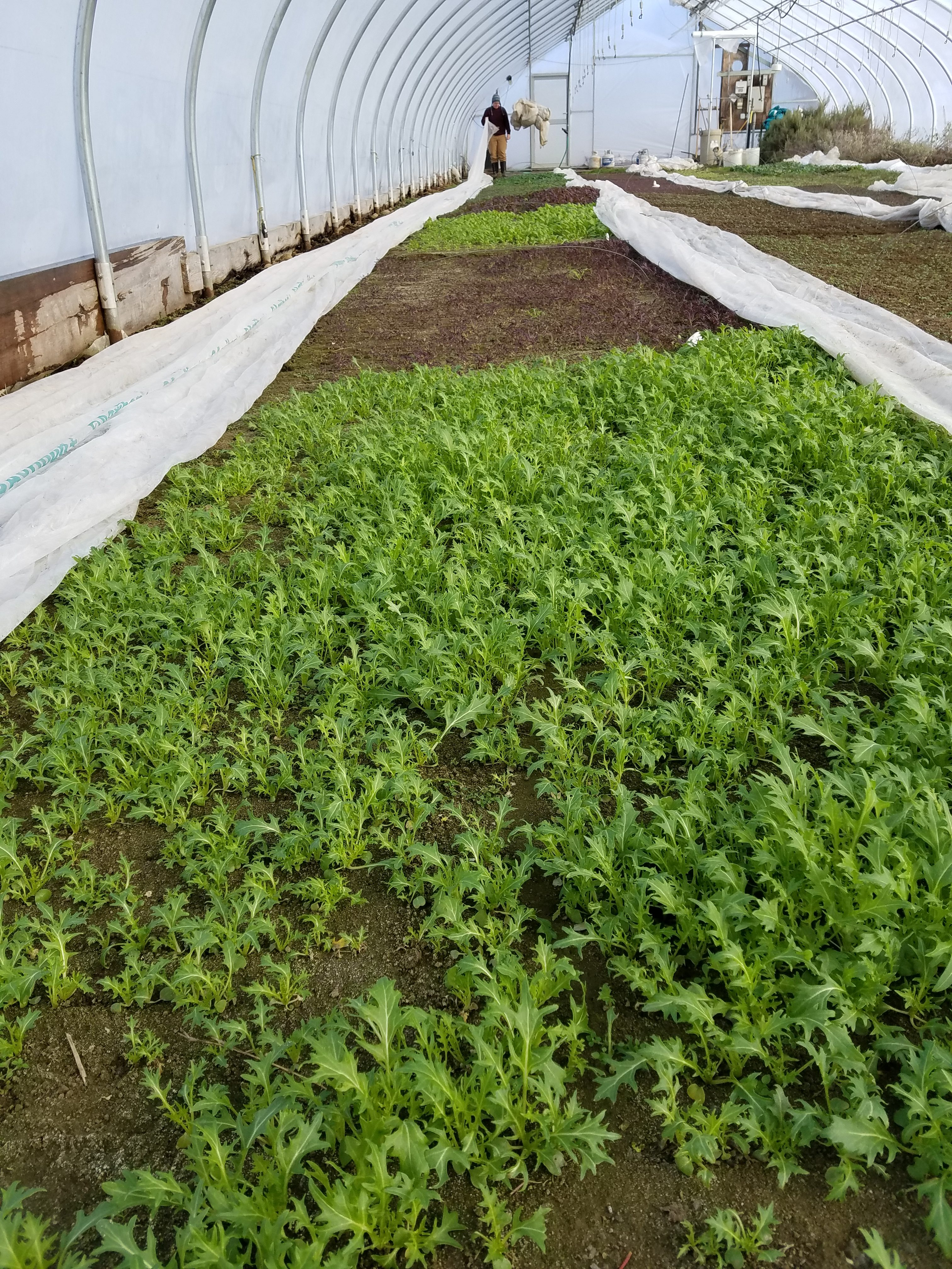 baby greens in a large greenhouse