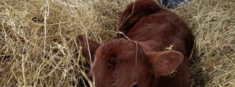 red calf in straw