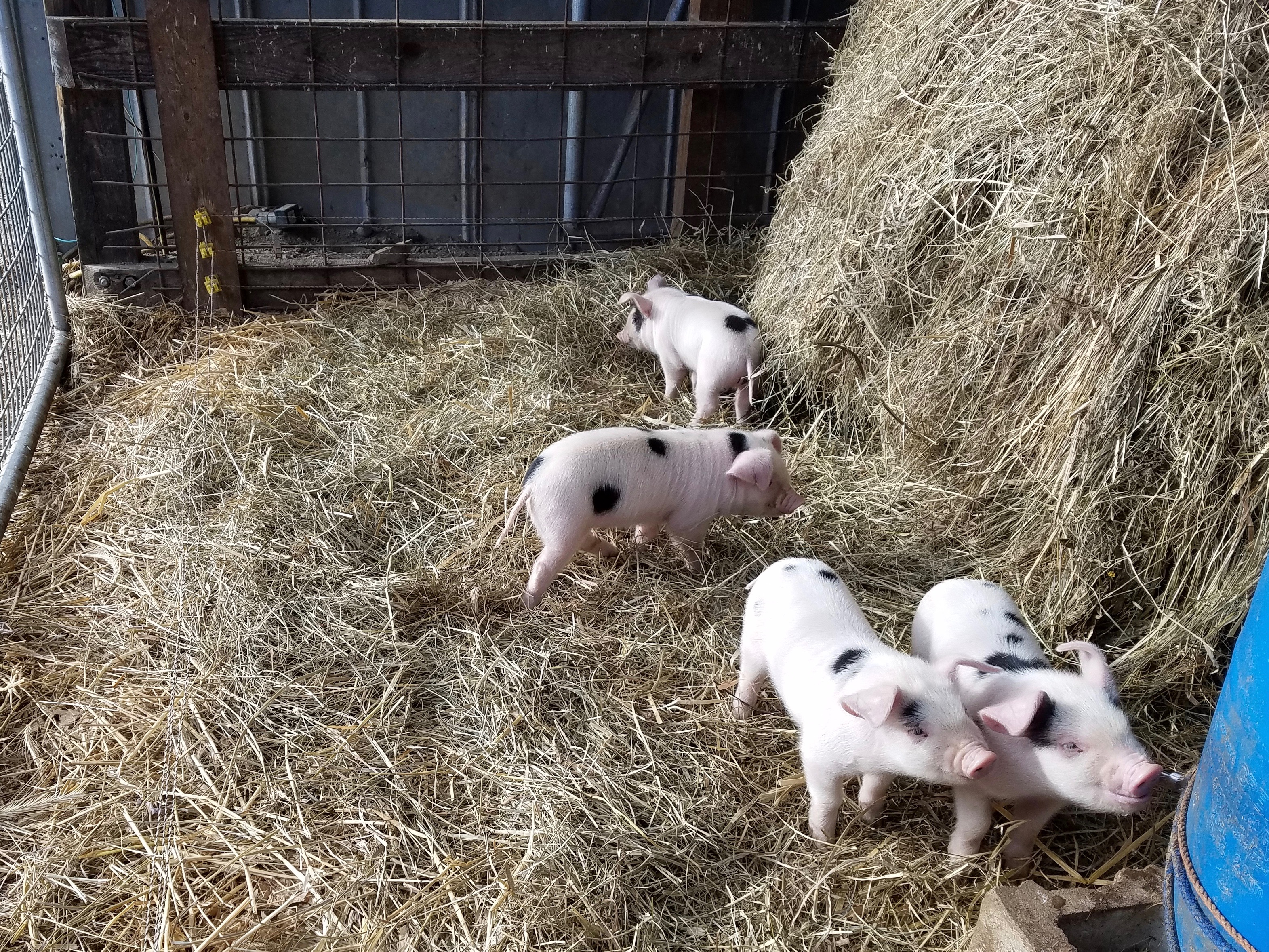 4 small piglets in hay